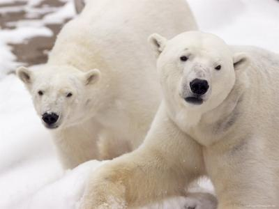 Close-up of Two Polar Bears-James Gritz-Photographic Print