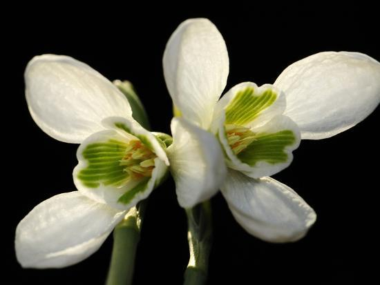 Close Up of Two Snowdrop Flowers, Galanthus Species-Darlyne A^ Murawski-Photographic Print