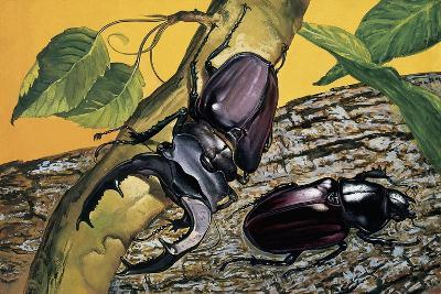 Close-Up of Two Stag Beetles (Lucanus Cervus)--Giclee Print