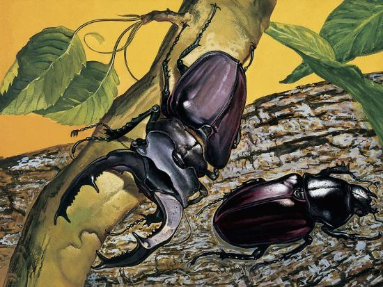 Close-Up of Two Stag Beetles (Lucanus Cervus)--Photographic Print