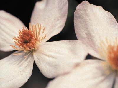 Close up of two white flowers against dark background--Photographic Print