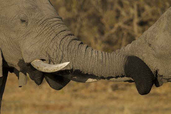 Close Up of Two Young African Elephants with their Trunks Wrapped Together-Beverly Joubert-Photographic Print