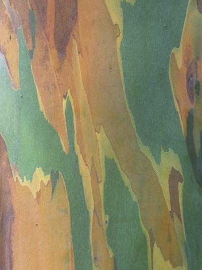 Close-Up of Variegated Rainbow Eucalyptus Tree Bark, Eucalyptus Deglupta, Australia-Beth Davidow-Photographic Print