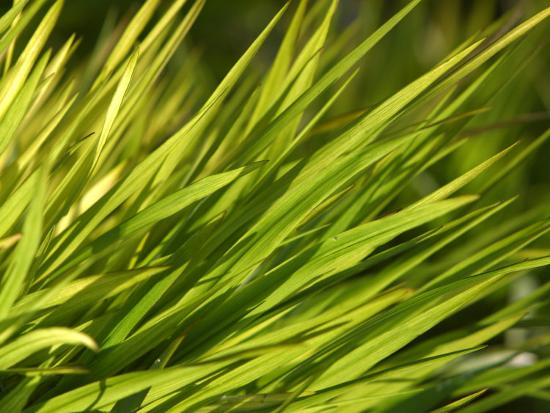 Close-Up of Verdant Green Blades of Grass Growing--Photographic Print
