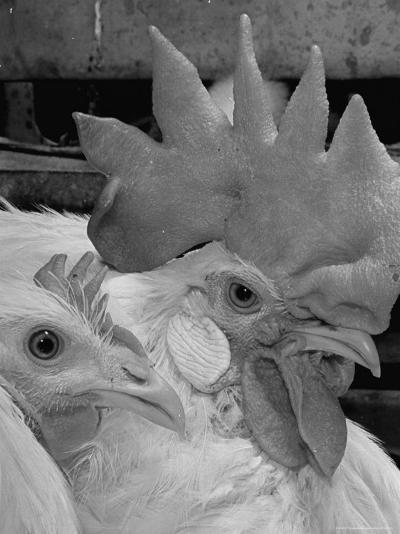 Close Up of View of Two White Leghorns, That Hatched at the Same Time-Bernard Hoffman-Photographic Print