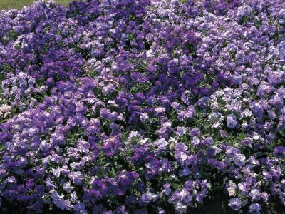 https://imgc.artprintimages.com/img/print/close-up-of-violet-flowers_u-l-q10bl960.jpg?p=0