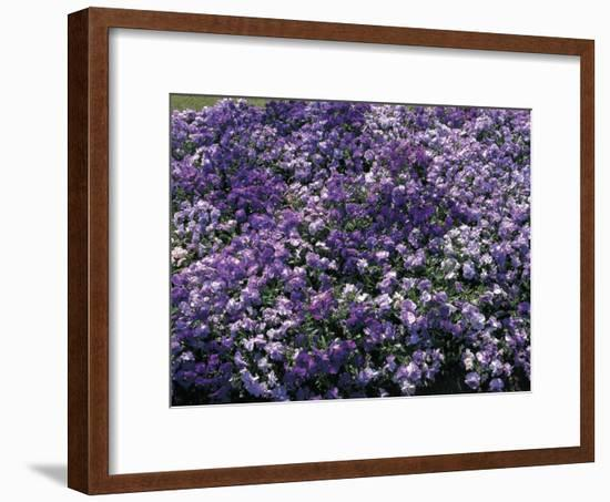 Close-Up of Violet Flowers-C. Sappa-Framed Photographic Print