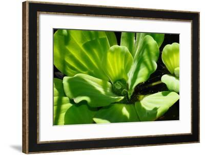 Close Up of Water Lettuce, Pistia Stratiotes, in a Pond-Darlyne A. Murawski-Framed Photographic Print