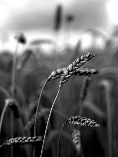 Close Up of Wheat Straws in a Field--Photographic Print