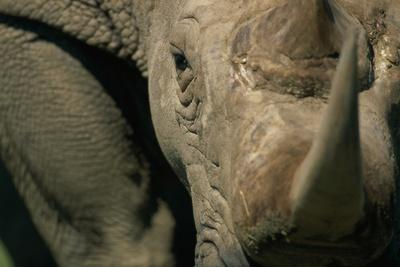 https://imgc.artprintimages.com/img/print/close-up-of-white-rhinoceros_u-l-pzmvdz0.jpg?p=0