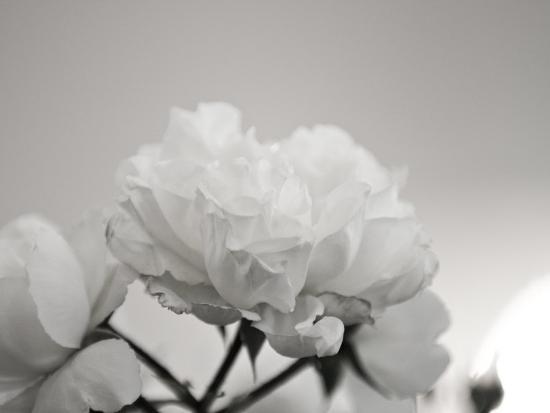 Close-Up of White Roses-Rune Johansen-Photographic Print