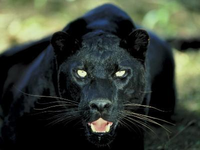 Close Up of Wild Black Leopard Showing Teeth--Photographic Print