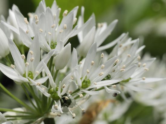 Close-Up of Wild Garlic (Ramsons) (Allium Ursinum) Carpeting Woodland Floor, Wiltshire, England, UK-Nick Upton-Photographic Print