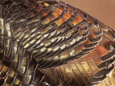 Close-Up of Wild Turkey Feathers, Mealagris Gallopavo, North America-Arthur Morris-Photographic Print