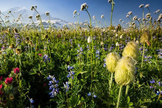 Close-Up of Wildflowers, Mount Rainier National Park, Washington State, USA--Photographic Print