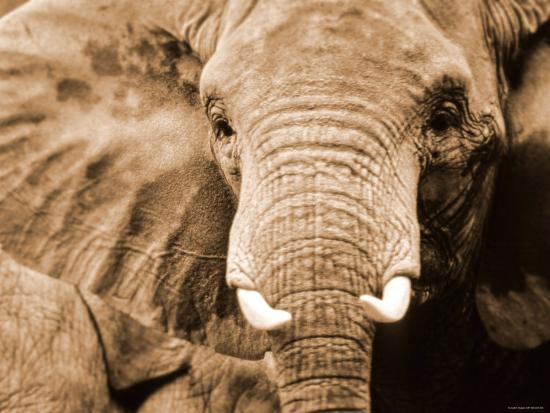 Close Up of Wrinkled Head of African Elephant--Photographic Print