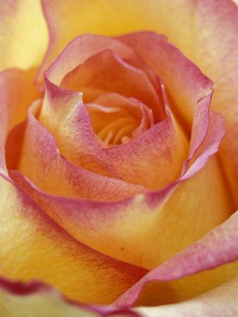https://imgc.artprintimages.com/img/print/close-up-of-yellow-and-orange-rose_u-l-p4huu20.jpg?p=0