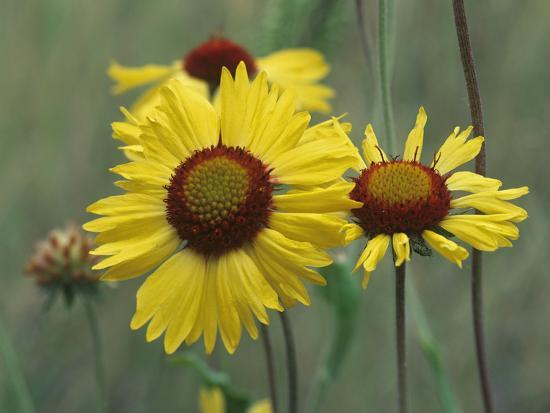 Close-Up of Yellow Blanket Flowers, Usa-Tim Fitzharris-Photographic Print