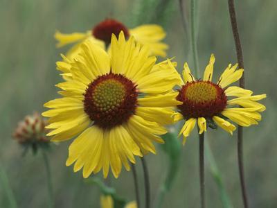 https://imgc.artprintimages.com/img/print/close-up-of-yellow-blanket-flowers-usa_u-l-q13cpil0.jpg?p=0
