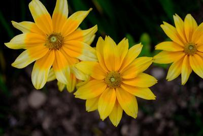 Close-Up of Yellow Cone Flowers-Paul Damien-Photographic Print