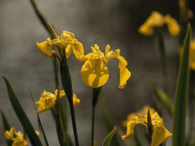 Close Up of Yellow Irises in Bloom-Raymond Gehman-Photographic Print