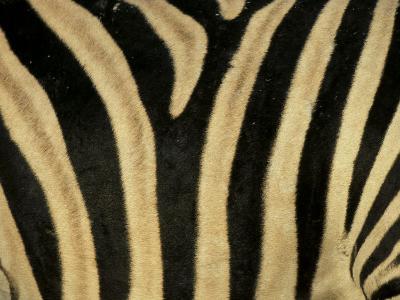 Close-Up of Zebra Skin, South Africa, Africa-Steve & Ann Toon-Premium Photographic Print