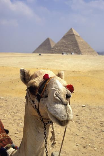Close-Up on a Camel Looking at the Camera with Pyramids in the Background, Giza, Egypt; Giza, Egypt-Design Pics Inc-Photographic Print