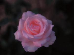 Close-Up on a Single Beautiful Blooming Pink Rose
