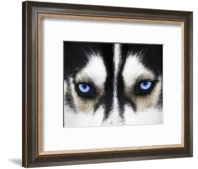 Close Up On Blue Eyes Of A Dog-melis-Framed Photographic Print