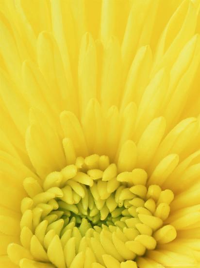 Close-up Pattern in Yellow Mum-Adam Jones-Photographic Print