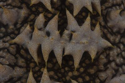 Close-Up Pattern of a Giant Sea Cucumber-Stocktrek Images-Photographic Print