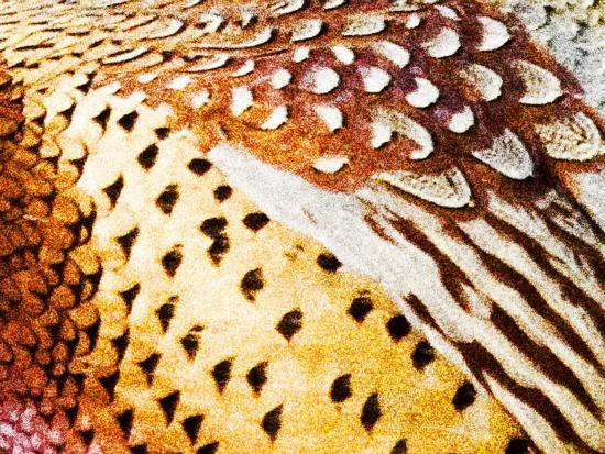Close Up Pheasant Feathers, Moiese, Montana, USA-Chuck Haney-Photographic Print