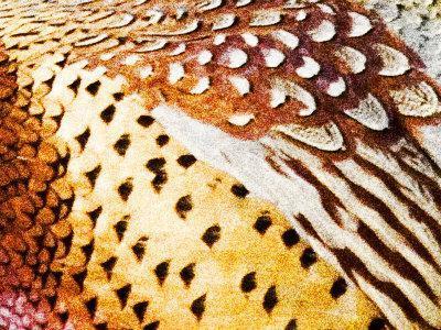 https://imgc.artprintimages.com/img/print/close-up-pheasant-feathers-moiese-montana-usa_u-l-p85ere0.jpg?p=0