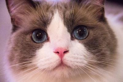 Close Up Portrait of a Blue-Eyed Cat Looking into the Camera-Stephen St^ John-Photographic Print