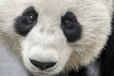 Close Up Portrait of a Captive Adult Giant Panda-Ami Vitale-Photographic Print