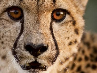 Close Up Portrait of a Cheetah.-Karine Aigner-Photographic Print