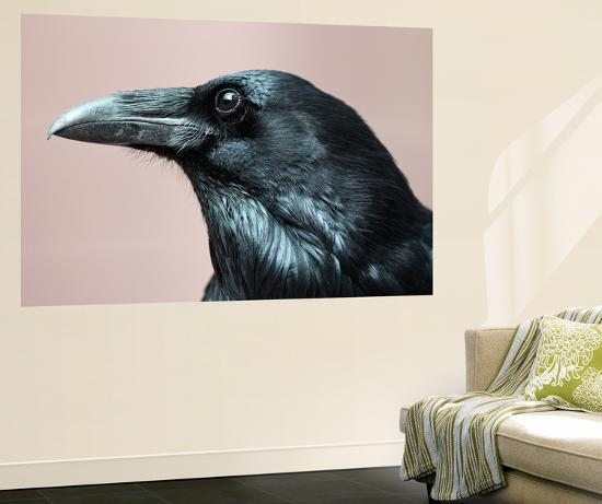 Close Up Portrait of a Common Raven, Corvus Corax-Marc Moritsch-Wall Mural