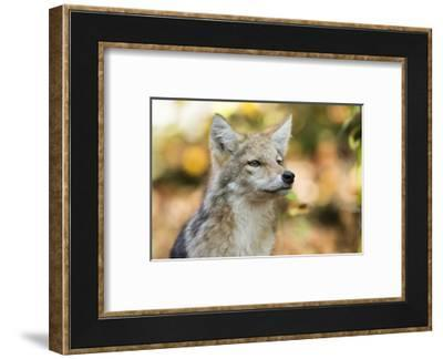 Close Up Portrait of a Coyote Pup, Canis Latrans-Robbie George-Framed Photographic Print