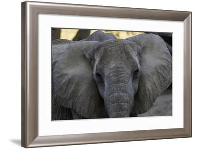 Close Up Portrait of a Desert-Adapted African Elephant, Loxodonta Africana-Jonathan Irish-Framed Photographic Print