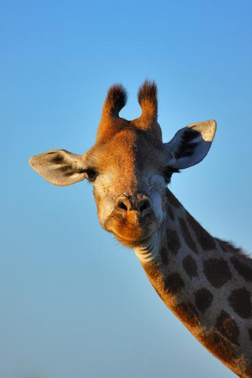 Close-Up Portrait of a Giraffe ; Giraffa Camelopardalis-Johan Swanepoel-Photographic Print