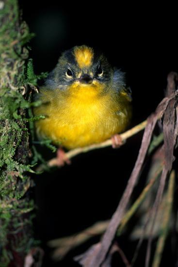 Close Up Portrait of a Golden-Crowned Warbler, Basileuterus Culicivorus-Cagan Sekercioglu-Photographic Print
