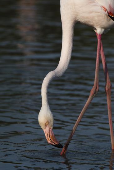 Close Up Portrait of a Greater Flamingo, Phoenicopterus Roseus, Feeding-Sergio Pitamitz-Photographic Print