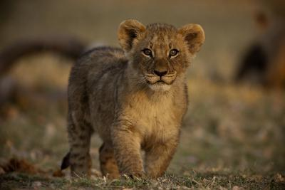 Close Up Portrait of a Lion Cub-Beverly Joubert-Photographic Print