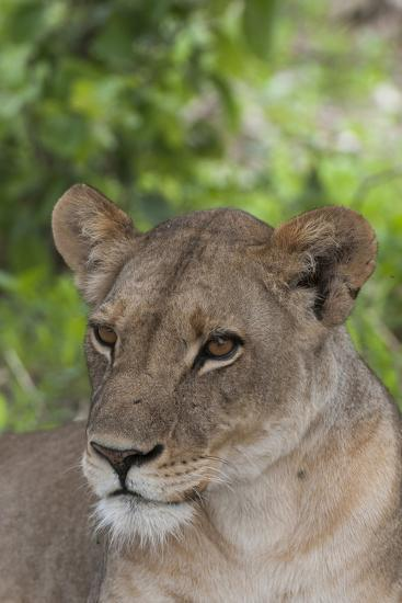 Close Up Portrait of a Lioness, Panthera Leo, Alert But Resting-Sergio Pitamitz-Photographic Print