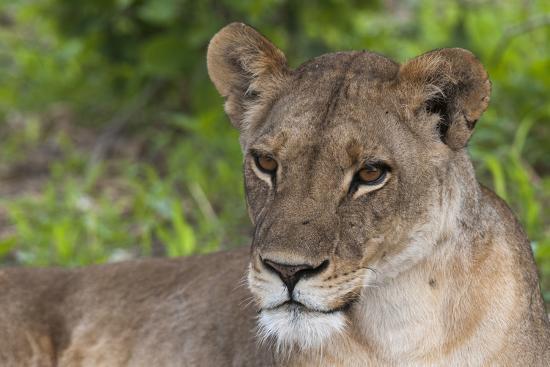 Close Up Portrait of a Lioness, Panthera Leo, Resting-Sergio Pitamitz-Photographic Print