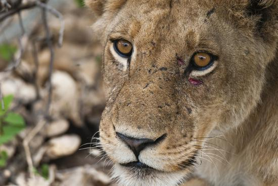Close Up Portrait of a Lioness, Panthera Leo, with Small Injuries under Her Left Eye-Sergio Pitamitz-Photographic Print