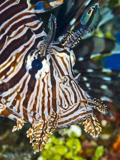 Close Up Portrait of a Lionfish-Jim Abernethy-Photographic Print