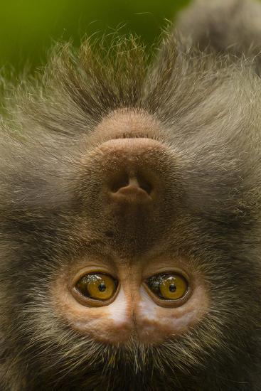 Close Up Portrait of a Long-Tailed or Crab-Eating Macaque, Macaca Fascicularis-Ralph Lee Hopkins-Photographic Print