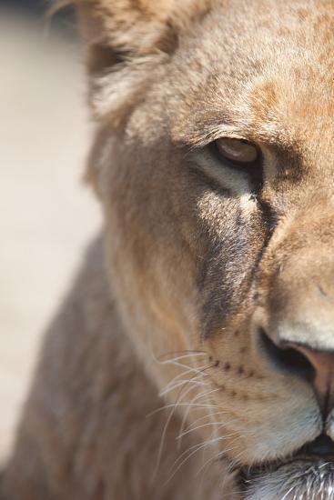 Close-Up Portrait Of A Majestic Lioness (Panthera Leo)-l i g h t p o e t-Photographic Print