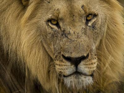 Close Up Portrait of a Male African Lion, Panthera Leo-Mattias Klum-Photographic Print